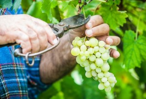 Трагедия злых виноградарей
